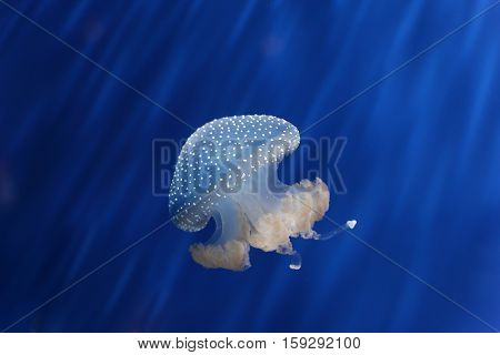 Beautiful white Jellyfish on a blue background. Medusa.