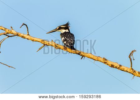 Bird pied kingfisher on tree branch above wetland waters.