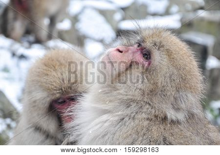 Monkey in Jigokudani Monkey Park  or Snow Monkey, Grooming: It very relaxing time for the monkey, they are looking for lice and it egg at the root of their hairs in oder to remove them., Nagono Japan.