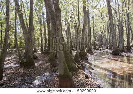 Cypress Swamp On Natchez Trace