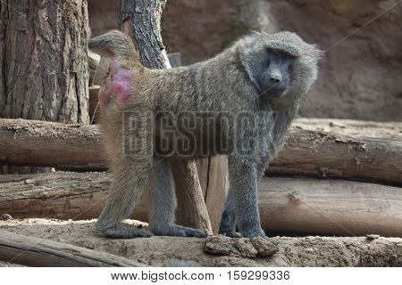 Olive baboon (Papio anubis), also known as the Anubis baboon.