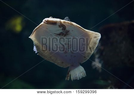 Turbot (Scophthalmus maximus). Marine fish.