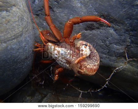Hermit Crab (lat. Paguroidea) on the wet stones. Without shell. Closeup. Summer. Black Sea