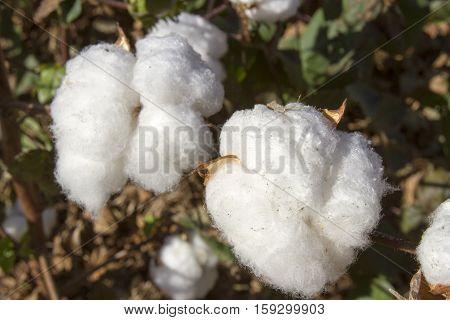 Balls Of Mature Cotton Plant