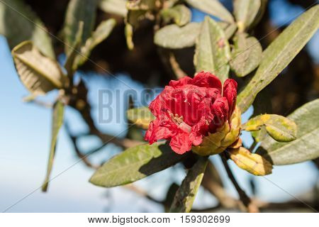 Red Rhododendron arboreum Azalea flower at Doi Intanon Thailand.