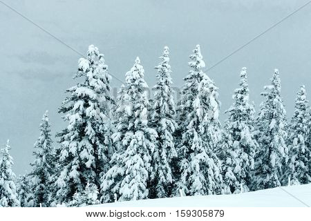 Landscape scenery forest in winter and pine trees covered by snow