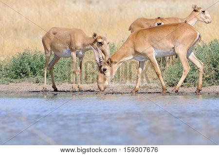 Wild Saiga antelopes (Saiga tatarica) near the watering place in the steppe. Federal nature reserve Mekletinskii Kalmykia Russia August 2015
