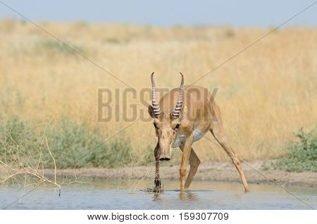 Wild male Saiga antelope (Saiga tatarica) at the watering place in the steppe. Federal nature reserve Mekletinskii Kalmykia Russia August 2015