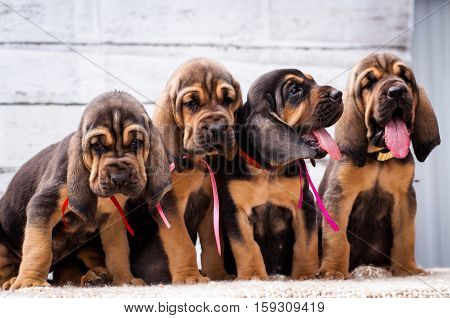 Beautiful puppies Bloodhound on a light background. Four bloodhound puppy