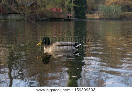 Close up of a passing Mallard Duck. Portrait of a Mallard Duck.