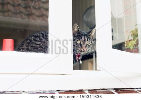Young Tabby Cat Looking Through Kitchen Window.
