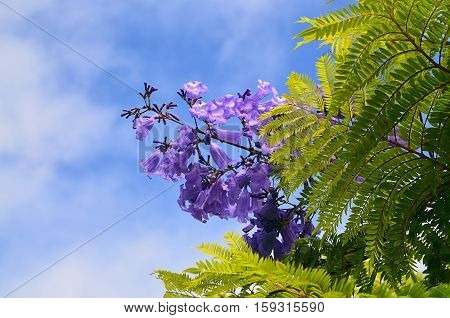 Jacaranda mimosifolia with purple-blue flowers against the sky in Tenerife,Canary Islands,Spain.Jacaranda tree.