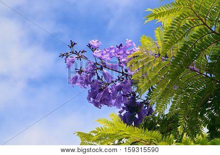Jacaranda mimosifolia with purple-blue flowers against the sky in Tenerife,Canary Islands,Spain.Jacaranda tree.