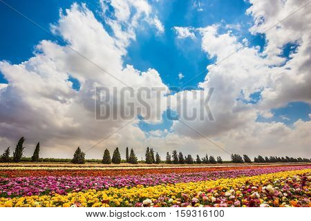 Walk on a sunny day. Colorful field, planted with flowers. Garden buttercups bloom in bright colors. The concept of eco-tourism
