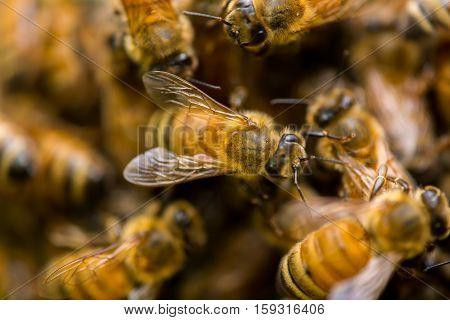 Honeybee Pile #2