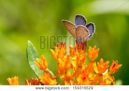 Eastern Tailed Blue Butterfly On Butterfly Weed #1