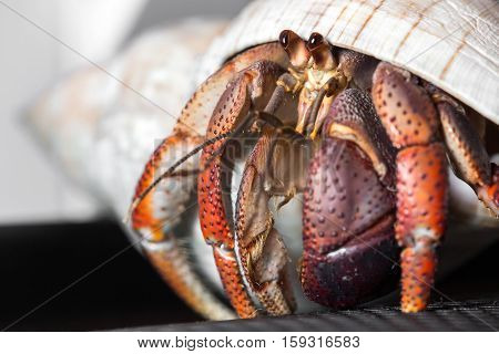 Close up of a Hermit Crab looking out of its shell