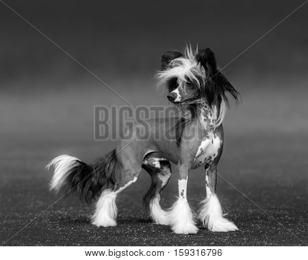 Black-and-white photo of dog. Chinese Crested Dog Breed. Age 1 year.