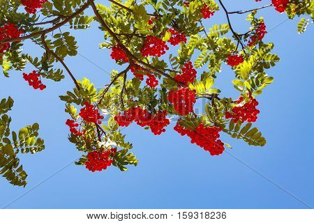 Rowanberries with green leaves on blue sky
