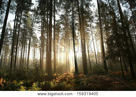 Coniferous forest on a misty morning. October, Poland.
