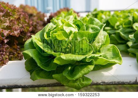 Fresh Organic Vegetable In Hydroponic Vegetable Field.plants Without Soil