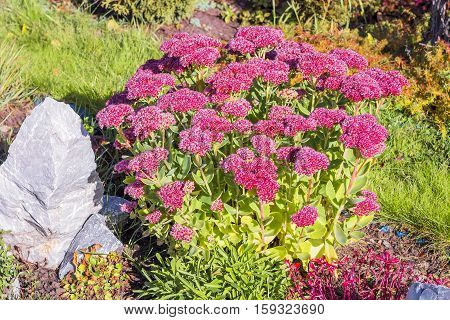 Sedum prominent (Sedum spectabile). Decorative garden plant in flowering period