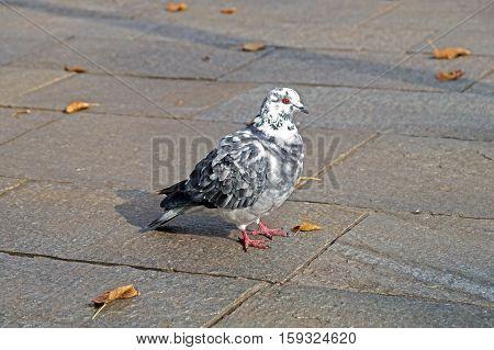 Grey Pigeon. Beautiful Close Up. City Birds.