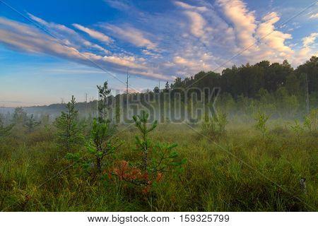 Landscape bog. Dwarf pines. Dawn. Fog. Sky