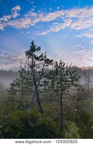 Two dwarf pine on bog. Early morning.