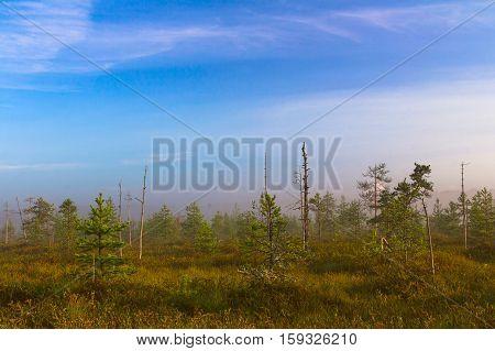 Landscape bog. Dwarf pines. Dawn. Fog. Morning