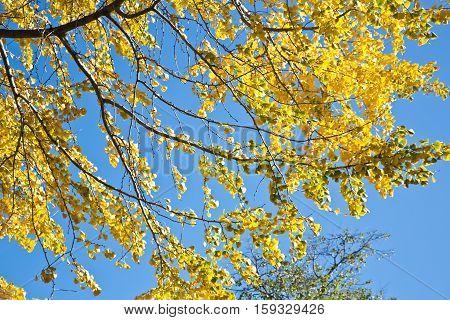 Autumnal foliage of Ginkgo biloba native to China