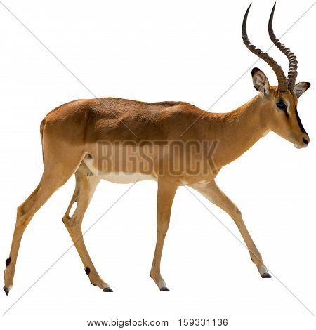 Portrait Of Walking Blackfaced Impala Isolated On White