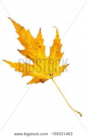 Closeup Photograph Of Autumnal Withering Maple Tree Or Acer Tree Leaf Isolated On White Background