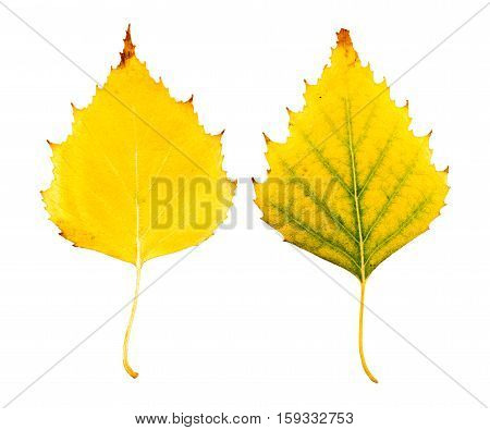 Close-up Photograph Of Front And Backside Of A Withering Autumnal Birch Tree Leaf Isolated On White