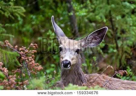 A young mule deer looks curious in the wet undergrowth. Banff National Park, Alberta, Canada