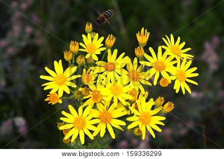 Leopard's-banes (Doronicum plantagineum) in the meadow with a shallow depth of field