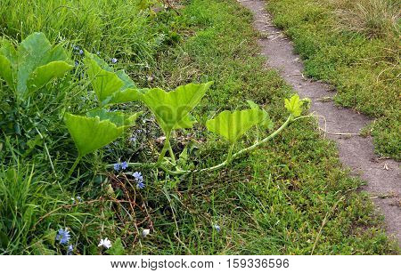 Tendril of A Pumpkin Plant overcomes the a footpath on the field