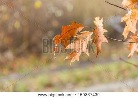 Dry oak leaves in autumn. Natural dry leaves of oak.