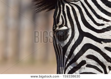 Close-up Zebra head with the eye ,hair detail and patterns