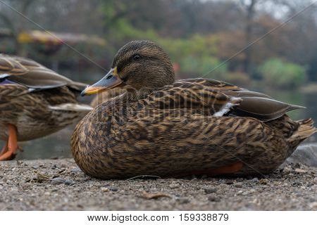 Close up of a relaxing Mallard Duck at the Lake