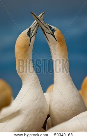 Mating Australasia Gannet at the coast of New Zealand