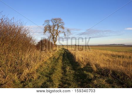 Ash Tree And Footpath