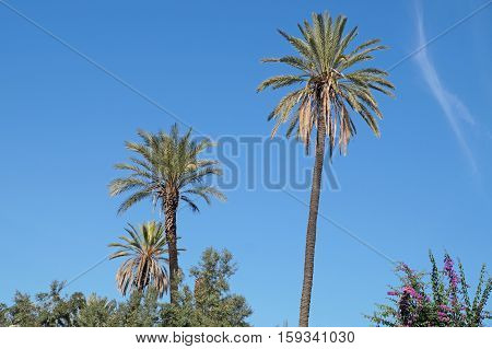 Palm Trees Oasis. Palms on the Clear Blue Sky.