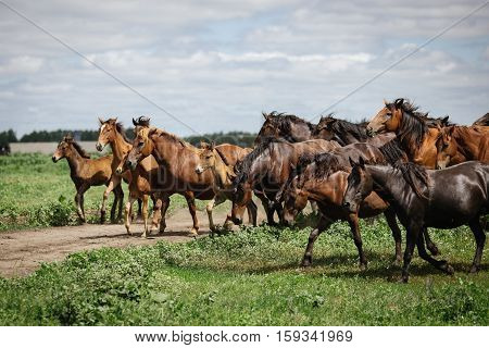 A herd of young horses running on the farm in summer
