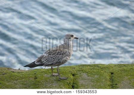 seagull in front of the Fort National near Saint-Malo a port city in northwestern France