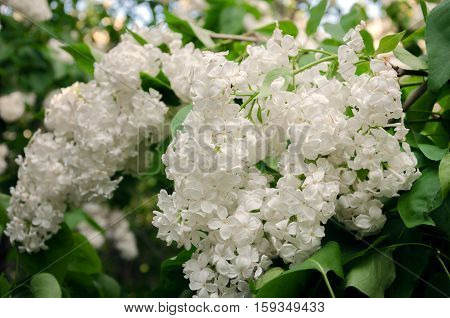 spring bloom of fragrant white lilac with green leaves in the garden