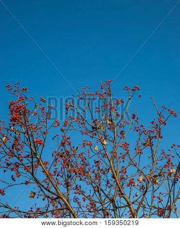 Autumn mountain ash against the background of the blue sky, a natural look. Branches of mountain ash with bright red berries against the blue sky background