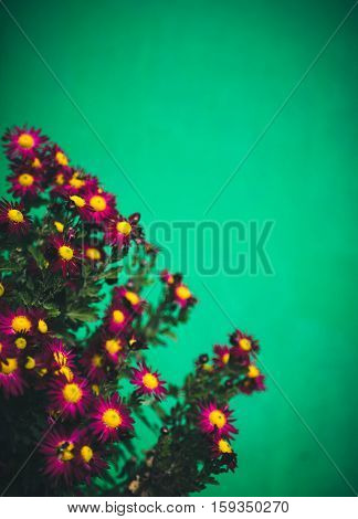 Autumn flowers, beautiful chrysanthemums in flower bed. Pink asters growing in the park. Many small violet flowers of chrysanthemum on green background.