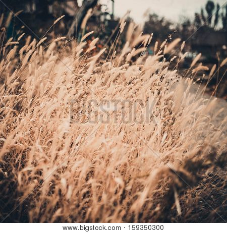 Soft blur background dry grass nature. Closeup wheat background. Ears of oats nature. Golden sunny oat closeup. Natural wheat beauty - shallow focus photography