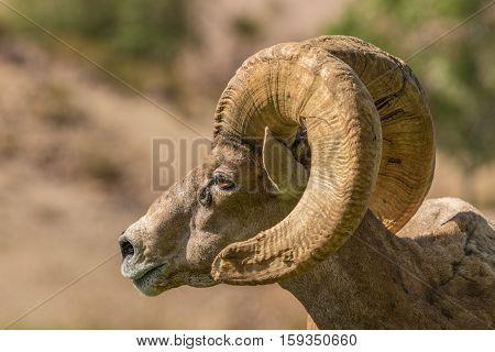 a close up of a nice desert bighorn sheep ram